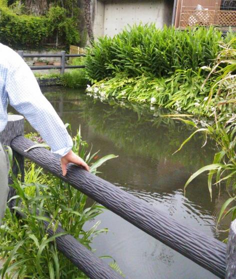 近所の池の鯉